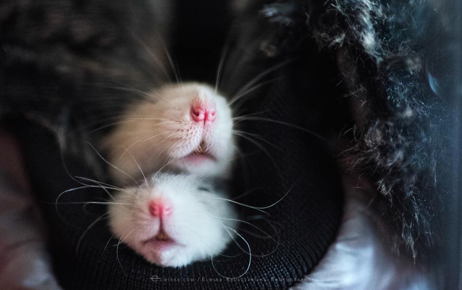 szczury rats wybieg zabawa (1)