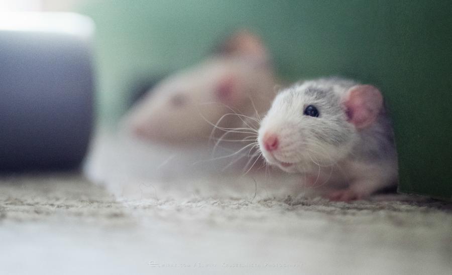 szczury rats wybieg zabawa (12)