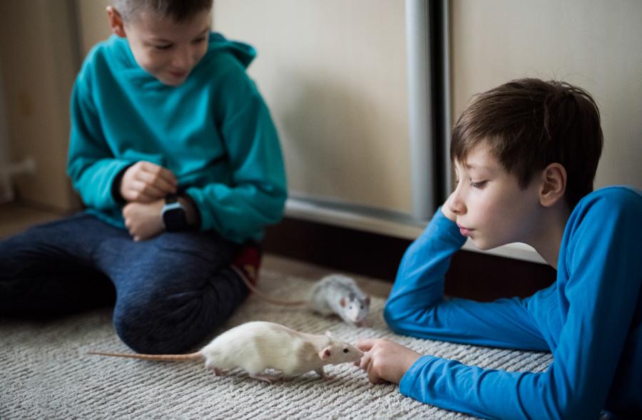 szczury rats wybieg zabawa (4)