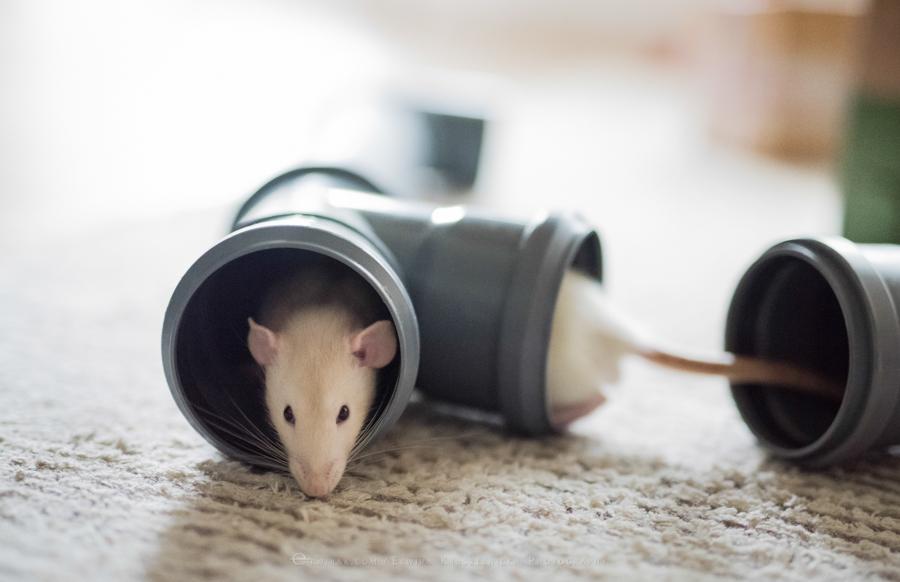 szczury rats wybieg zabawa (5)
