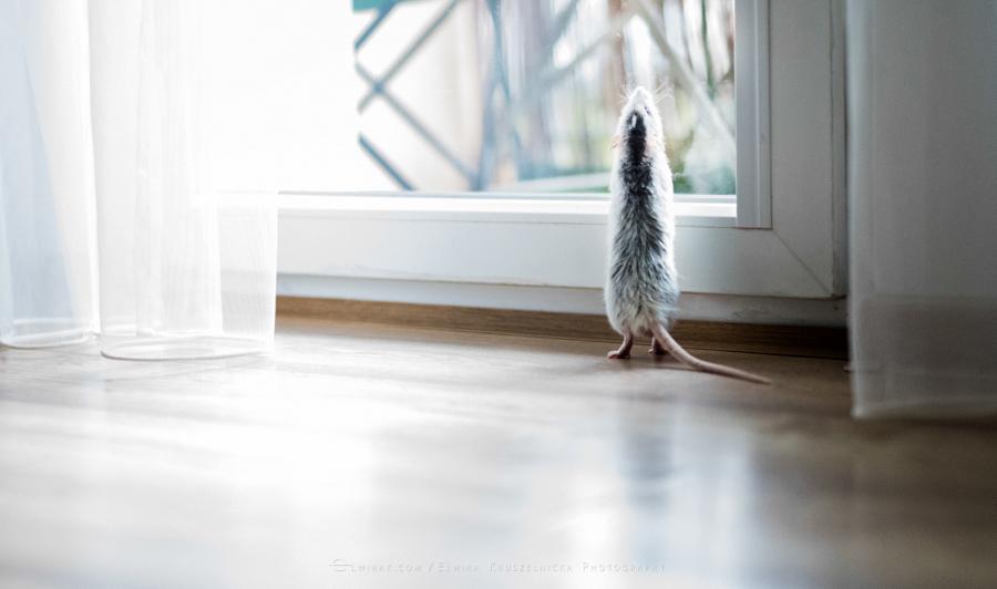 szczury rats wybieg zabawa (6)
