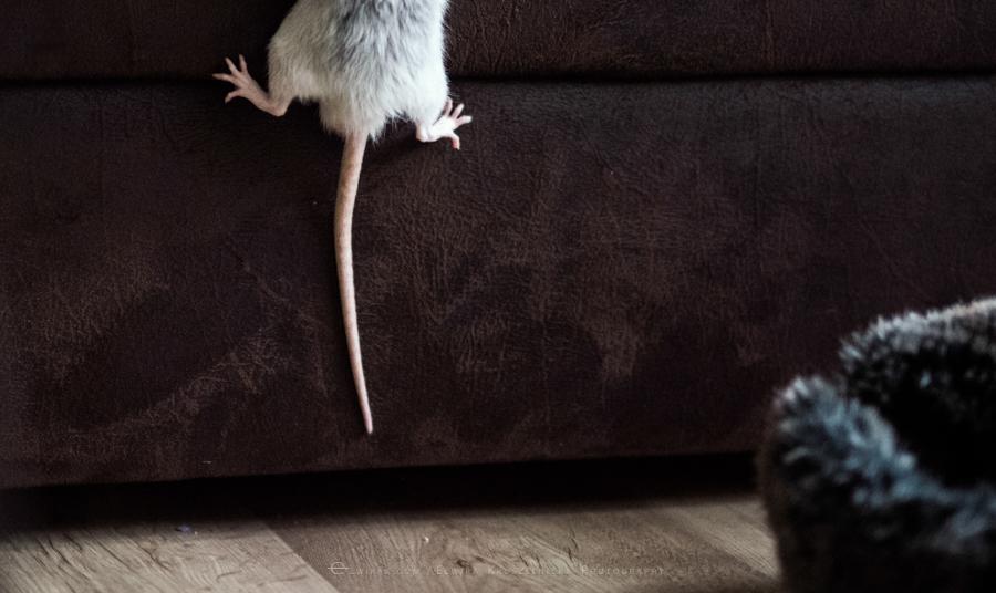 szczury rats wybieg zabawa (8)
