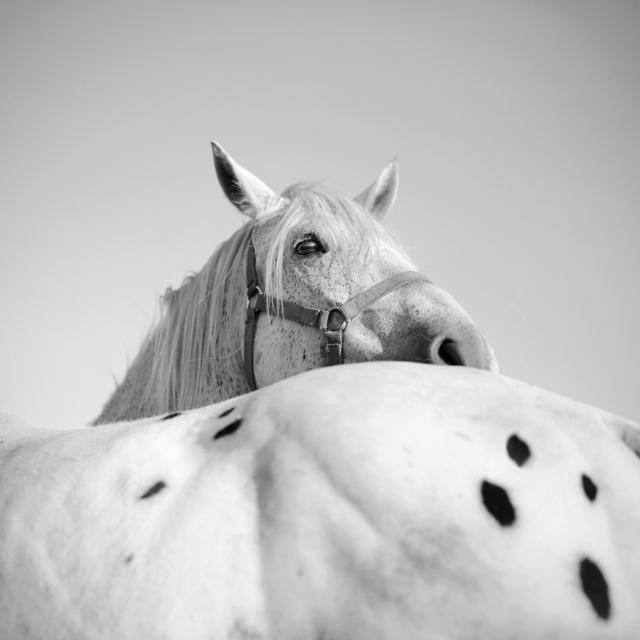 konie-kon-horse-1